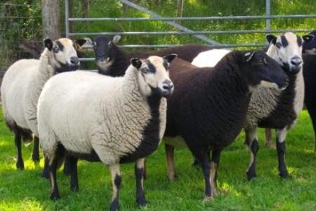 d8c50f9e9 Badger Face Welsh Mountain – Ashbourne Sheep Fair