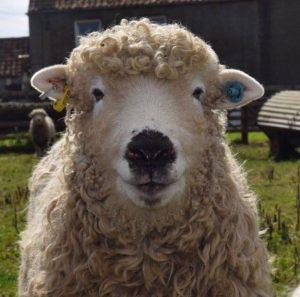 Grey Faced Dartmoor