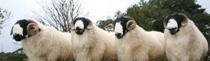 Rough Fell Sheep
